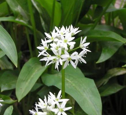 Ljekovito bilje: Medvjeđi luk ili crijemuš (Allium ursinum)
