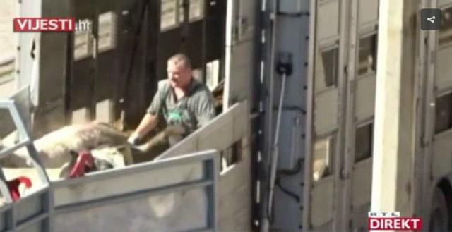 Stravične snimke iz Luke Raša: zabilježeno mučenje krava i ovaca