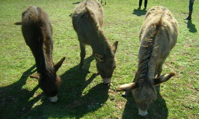 Raški rezervat Liburna: Ostaje samo deset magaraca