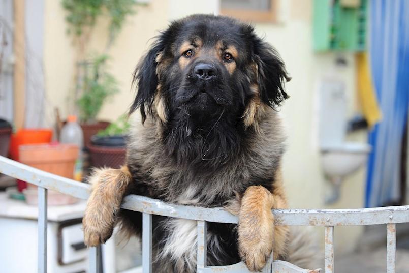 Koliko je nečipiranih pasa u Labinu?