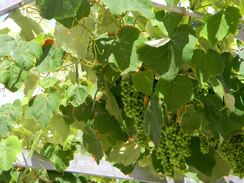 Pićan: Važna obavijest vinogradarima