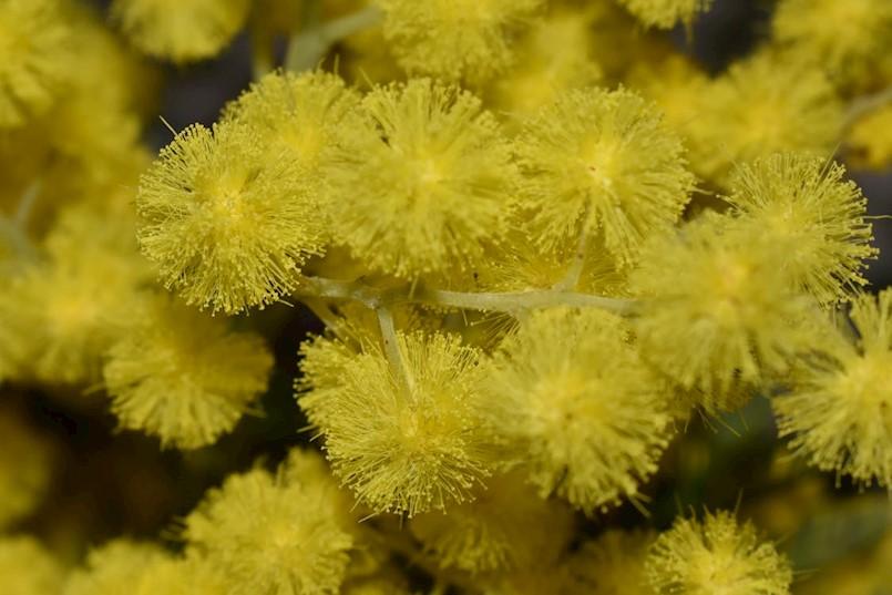 Na akciji Dan mimoza prikupljeno gotovo 7 tisuća kuna