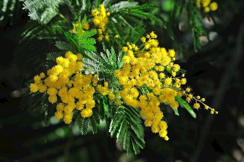 U akciji Dan mimoza prikupljeno više od 10 tisuća kuna