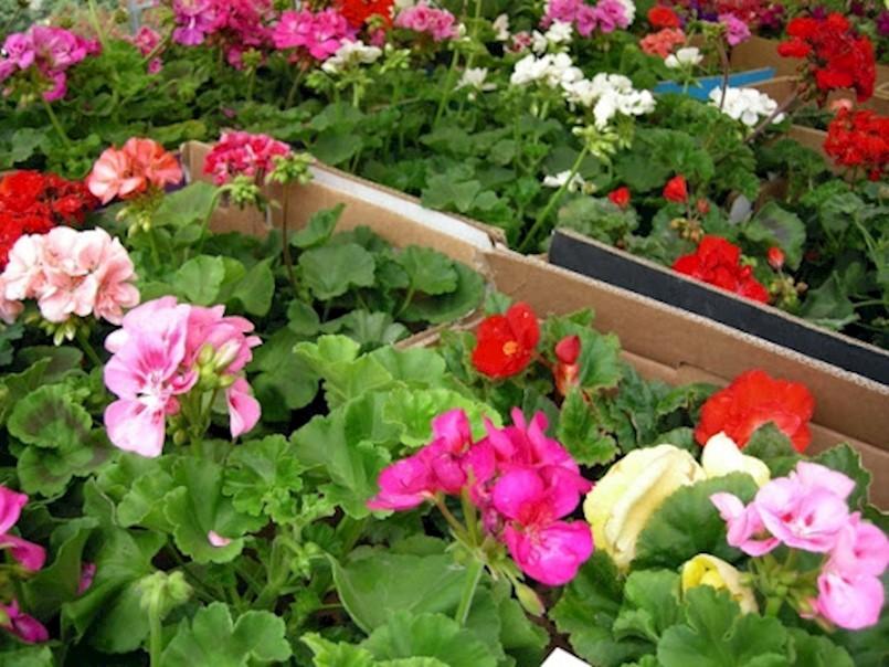 Ove subote na Trgu labinskih rudara prodaja cvijeća iz vozila