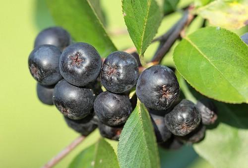 Aronija malo poznato zdravo jagodasto voće (Aronia Melanocarpa L.)