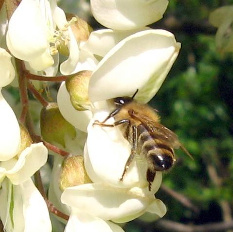 Bolest pčela ugrozila berbu istarskog bagremovog meda