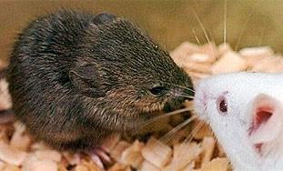 Klonirali miša smrznutog 16 godina