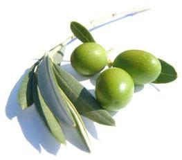Obavijest: Podjela naručenih sadnica maslina