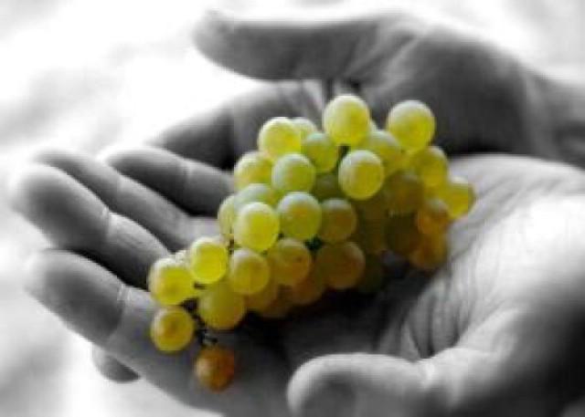 Vremenske neprilike glavni krivac za lošu vinogradarsku godinu