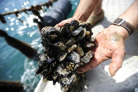 Zbog biotoksina cijela je Istra pod zabranom uzgoja i izlova školjaka uključujući i Raški zaljev