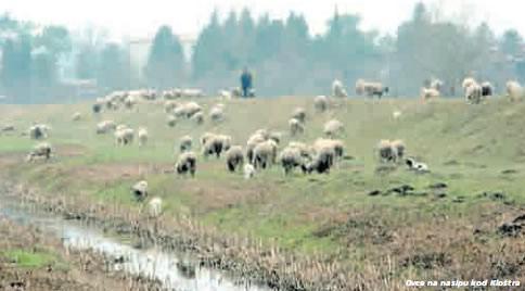 Čepić: Ovce i krave ugrožavaju nasipe