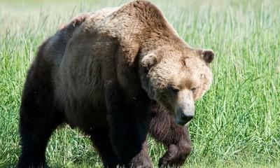 Oprez, medvjeđa obitelj na obroncima Plominske gore