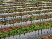 Labin: predbilježbe za sadnice loznih cijepova, maslina i voćaka