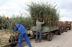 Općina Raša neće sufinancirati nabavku sadnica