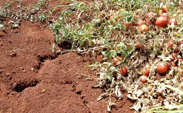 Zbog tuča,suše i požara u cijeloj Istri proglašena elementarna nepogoda - štete u poljoprivredi od 60 do 100 %