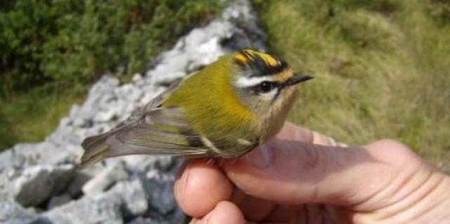 U ornitološkom kampu na Učki prstenovanje ptica