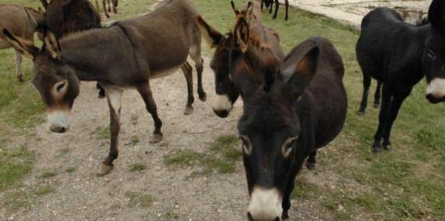 Udomljeni svi magarci iz Raše, ne idu na klanje