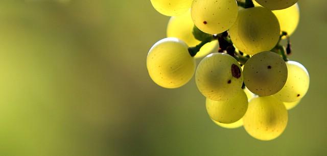 Berba grožđa na području Labinštine prema očekivanjima