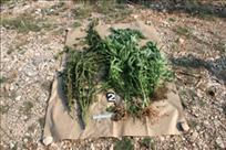 Još jedan slučaj zlouporabe opojnih droga: 48-godišnjak iz Labina u stanu uzgajao marihuanu