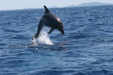 Valamar posvojio 42 dupina iz Jadranskog mora