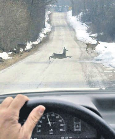 Tko odgovara za štetu nastalu prilikom naleta vozila na divljač: Vozač je kriv ako vozi prebrzo, a u suprotnom - lovačko društvo