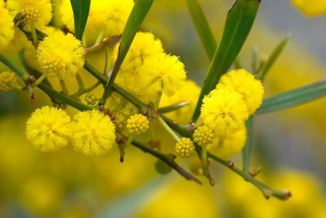 Sutra se obilježava Dan mimoza