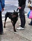 Sveta Nedelja: Pas ugrizao dijete - vlasniku prekršajni nalog