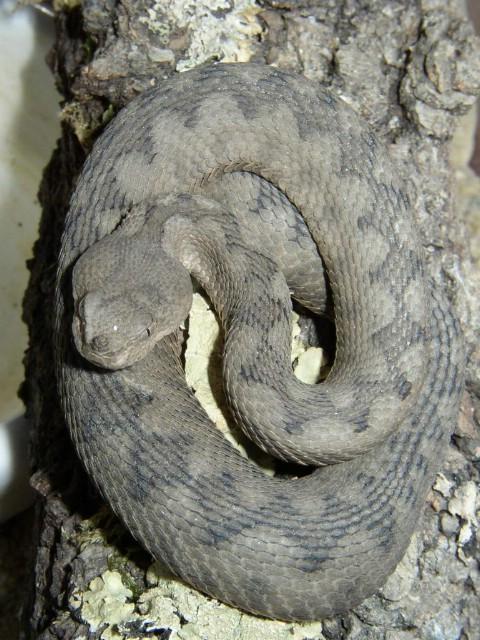 Poskok je jedina otrovna zmija koja živi u Istri