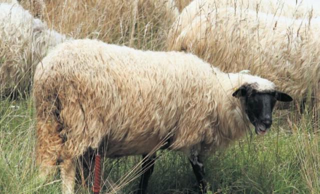 I vuna ovaca s područja Labinštine završavat će u tepisima