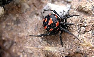 OPREZ: Stanište  pauka Crne udovice i na Labinštini
