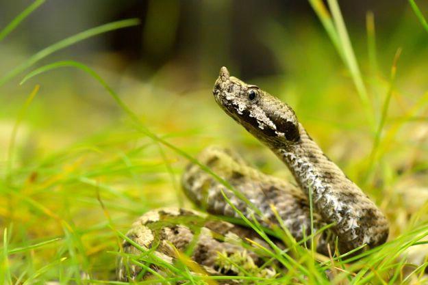 Zalihe protuotrpva sve siromašnije, evo što učiniti ako vas ugrize zmija otrovnica