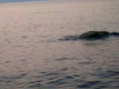 Sredozemna medvjedica kod Cresa (Video)