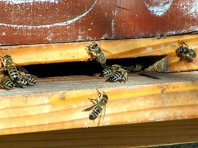 Alarmantno: Labinski pčelari izgubili prinose do čak 70 posto!