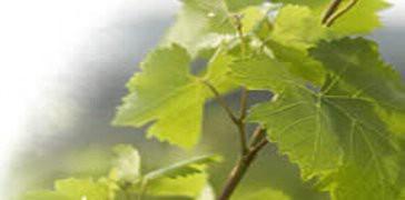 Predbilježbe za sadnice loznih cijepova, maslina i voćaka