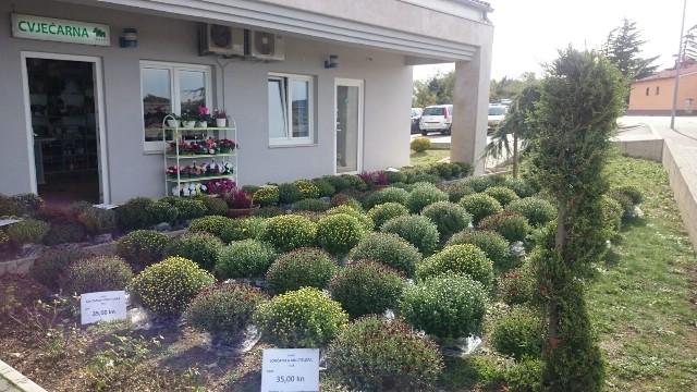 U cvjećarni započela prodaja krizantema