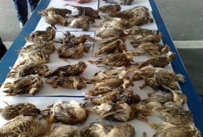 Labinjan i dvojac iz Srbije uhićeni zbog šverca više od 2,5 tisuća zaštićenih ptica