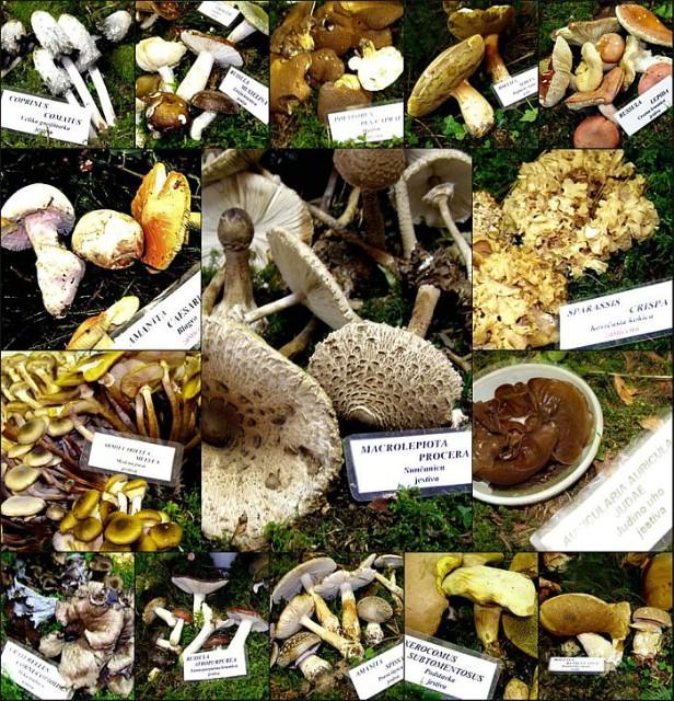 """Gljivarsko društvo """"Martinčica"""" izložilo 160 vrsta gljiva, a Ruđero Faraguna imenovan doživotnim počasnim predjesnikom (Audio)"""