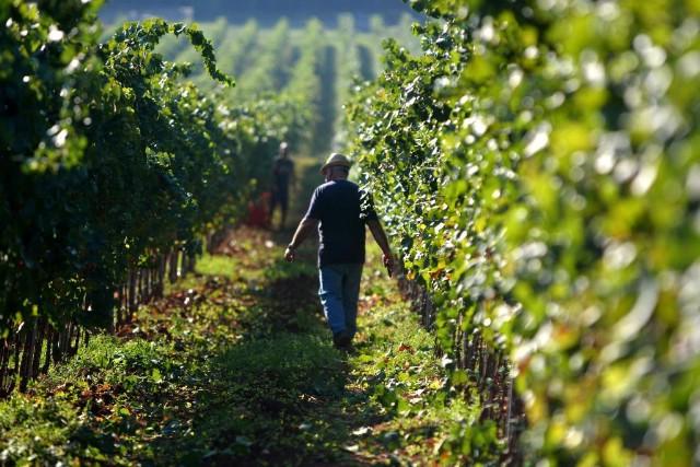 [POZIV] U ponedjeljak edukacija o podizanju vinograda i potporama u sektoru vinarstva