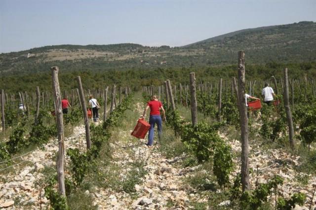 [NAJAVA] U subotu praktični dio edukacije o podizanju vinograda
