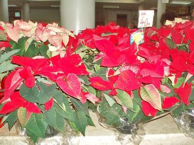 Đir po labinskoj tržnici: Božićne zvijezde do 40 kuna