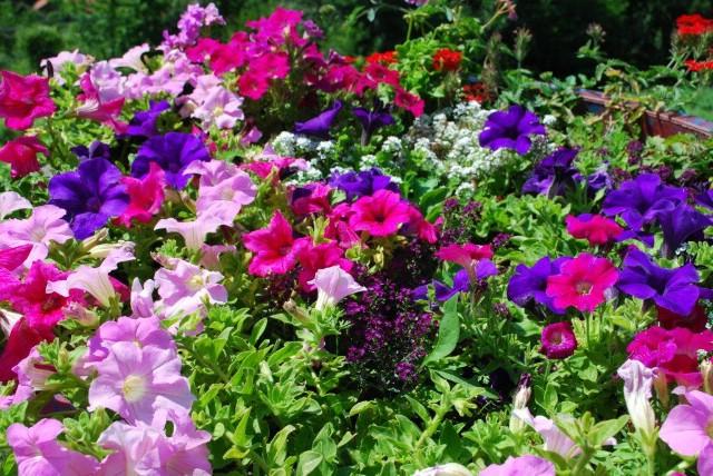 U petak podjela cvjetnih sadnica stanarima Starog grada Labina