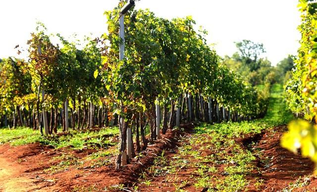 Vlasnici vinograda obavezni su provesti mjere protiv zlatne žutice