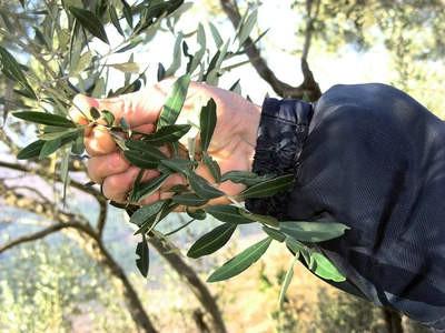 Projekt zaštite i valorizacije jedinstvene sorte masline Plominka - masline za buru