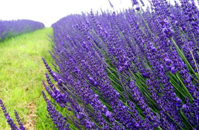 ♫ Veliki interes za program osposobljavanja za uzgajivača, sakupljača i prerađivača aromatičnog bilja