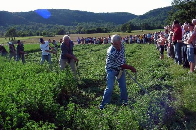 Boljunsko polje: Sedam kosaca kosilo arbašpanju