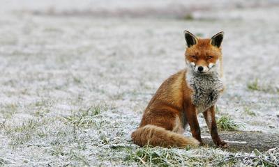 Lisica iz Kukurini bila je bijesna